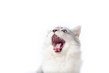 Cute young cat looking up and open mouth on white background photo