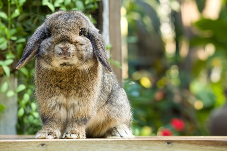 Cute holland lop rabbit  on the  wood  floor  in  garden field photo