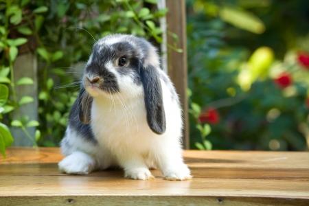 Cute holland lop rabbit  on the  wood  floor  in  garden field