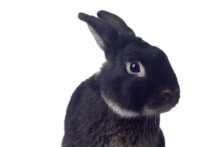 Cute black rabbit on white background photo