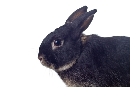 Cute black rabbit on white background photo