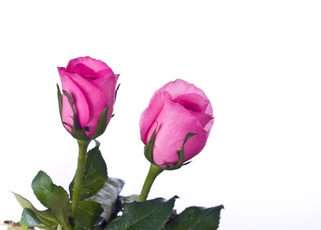 Beautiful Pink roses on white background photo