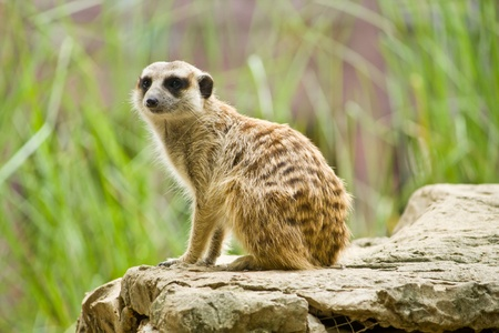 eyes cave: Meerkat sitting on the rock for lookout