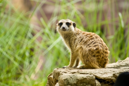 eyes cave: Meerkat standing on the rock for lookout