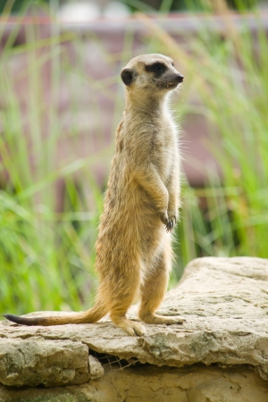 Meerkat standing on the rock for lookout  photo