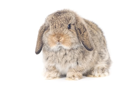 lop lop rabbit white: Cute Holland lop Rabbit on white background