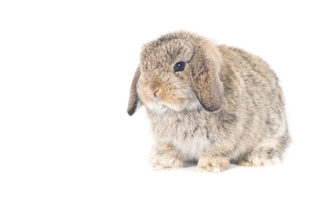 Cute Holland lop Rabbit on white background photo