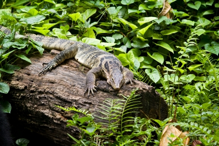 Monitor Lizard resting on a log in the forest photo
