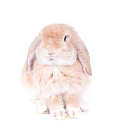 lop lop rabbit white: Closeup of  cute holland lop rabbit  on  white background