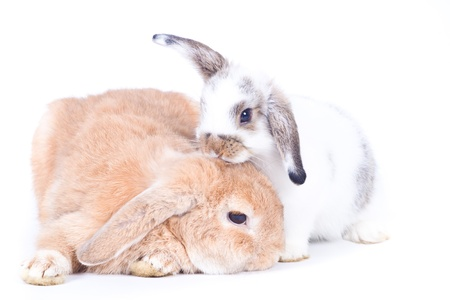 Closeup of  cute two holland lop rabbit  take care of each  other on  white background, Love concepts photo