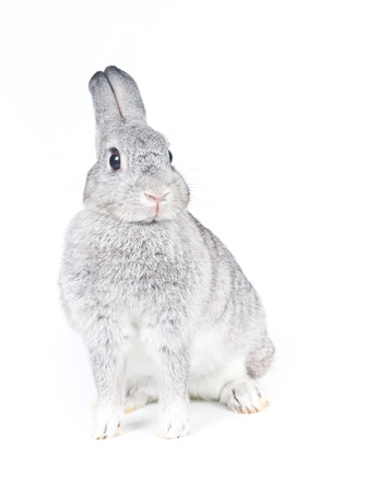 lop lop rabbit white: Closeup of  cute rabbit  on  white background