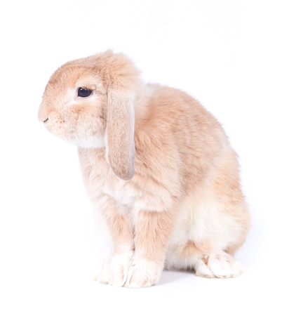 Closeup of  cute holland lop rabbit  on  white background photo