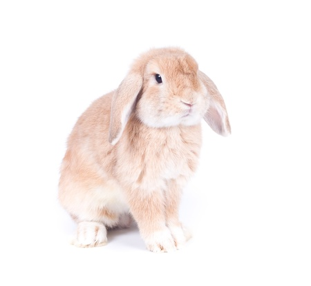 lop: Closeup of  cute holland lop rabbit  on  white background