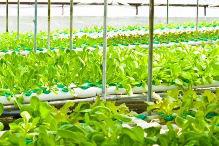 Hydroponic vegetables farm