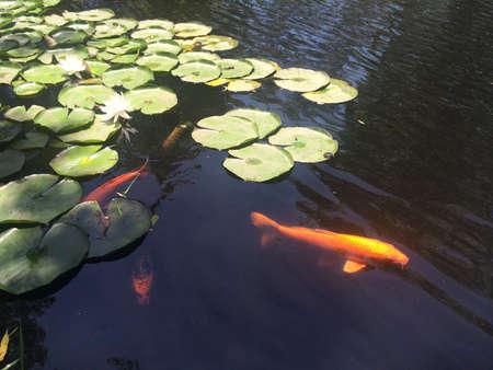 golden fish: Lotus and Golden Fish