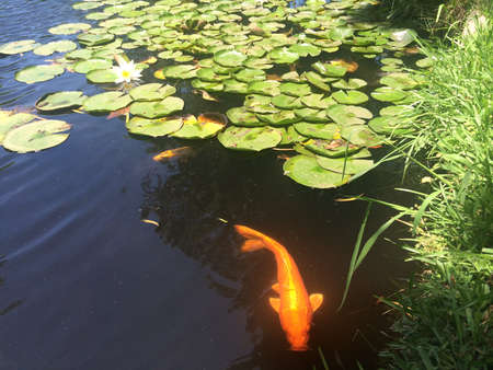 golden fish: Lotus Pond and Golden Fish