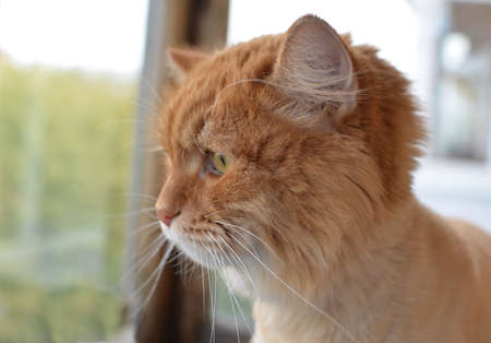 beautiful-haired ginger cat looking out the window