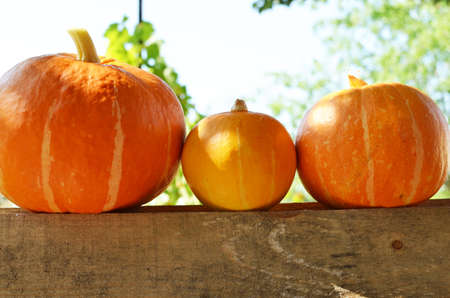 pumpkins in the garden on a wooden fence