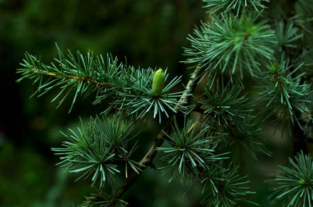 Young branch of cedar with  cones close-up