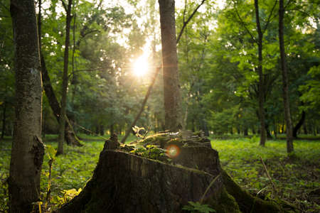 sun rise forest scenic view with tree stump in sun rise light and glares