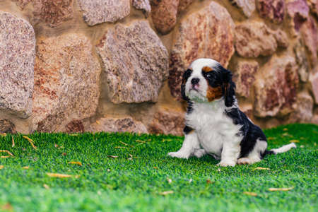 King Charles cavalier puppy portrait with brave face and funny proud pose on a synthetic green grass of house back yard outdoor space with stone wall background