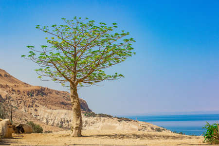 Palestine occupied territory by Israel holy land near Sodom and Homorrah desert dry highland landscape with lonely green tree and dead sea background scenic view