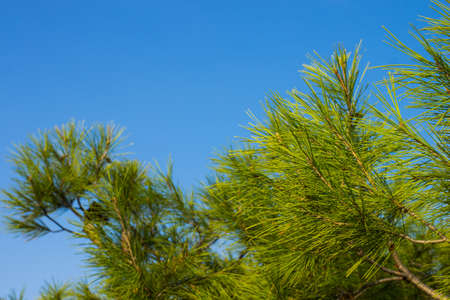 soft focus nature tropic cedar tree needle green branches on empty blue sky background copy space