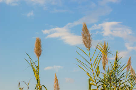 agriculture field concept of wheat cereals on clear blue sky background, wallpaper copy space for text or inscription here