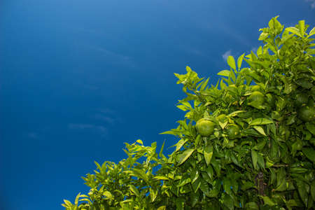 green lemon fruits on south tropic tree branches on empty blue sky background with sun light, copy space for text here
