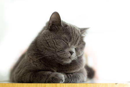 sleeping domestic pet British cat soft focus portrait on white background space for copy or your text here advertising concept picture for some animal shelter