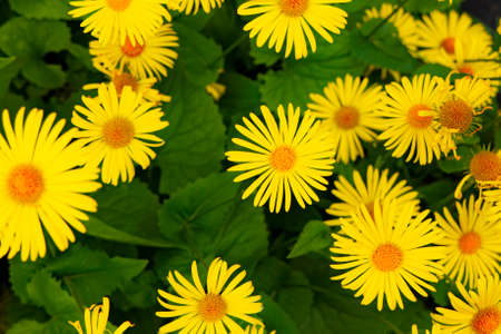 yellow chamomile flower bed idyllic nature photography background with green foliage Banque d'images