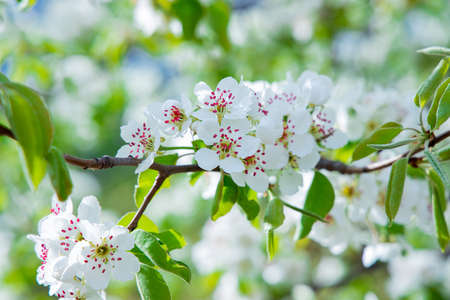 garden spring blooming nature scenic view of white flowers on tree branches foliage in May season