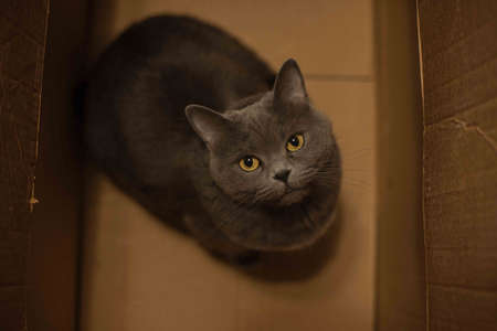 domestic pet British cat looking at camera from box frame with his yellow eyes rustic home indoor environment animal shelter concept photography