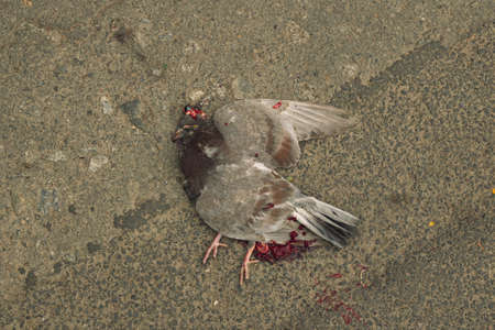 dead animal dove crushed by car human transport sad incident with blood on asphalt background texture ground