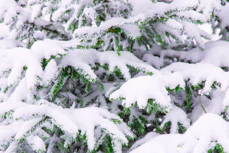 winter spruce needle branches foliage under snow December forest local scenic view background nature