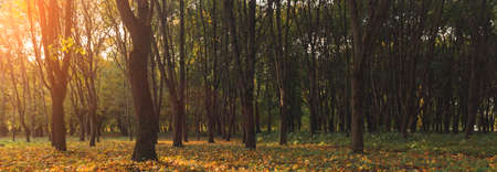unfocused concept autumn park scenic view falling leaves foliage yellow and brown colors in sun glare lighting space