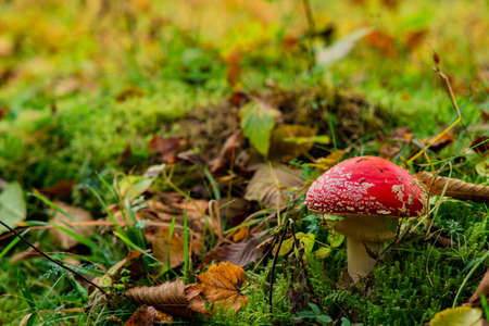 autumn time amanita mushroom September month season macro nature photography in forest scenery environment yellow and green colors