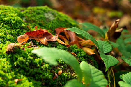 autumn forest macro nature photography of falling leaves and green moss plant cover on the ground colorful season time in October month Фото со стока