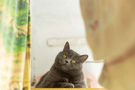British cat domestic pet laying and looking at camera animal photography in poor room indoor environment with drying linen foreground frame work Фото со стока