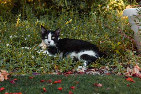 cat lay in grass garden outdoor environment September early autumn season with falling leaves on a ground Фото со стока