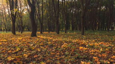 September autumn time park outdoor scenic view with orange falling leaves ground and soft focus trees background without people here