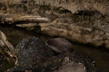 soft focus cave wild life environment with stone and sleeping otter animal
