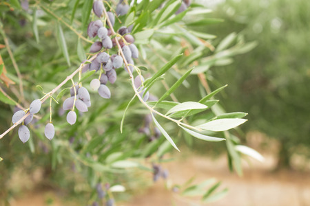 Olive tree branch with olives on olive trees backround. Olive branch full of fruit and leafs. Black olives. Stock Photo
