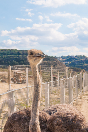 Ostriches in the farm. Ostriches on mountains backgound
