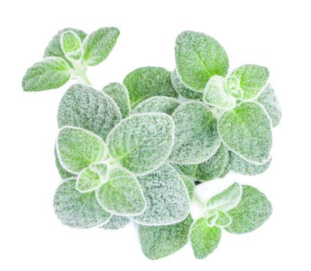 Dittany Cretan herb Dictamus isolated on white backround. Origanum dictamnus celtic oregano