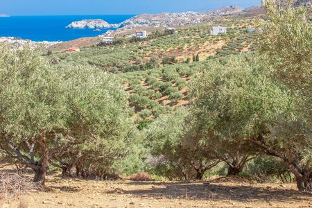 Olive plantation with mountains and Aegean Sea on the background. Industrial agriculture growing olive trees. Growing olives. Olive trees Crete island Greece.