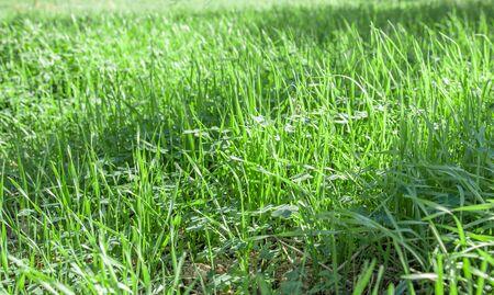 Green grass texture background, Green lawn, Grass texture, Park lawn texture with natural sun light. Reklamní fotografie - 133078105