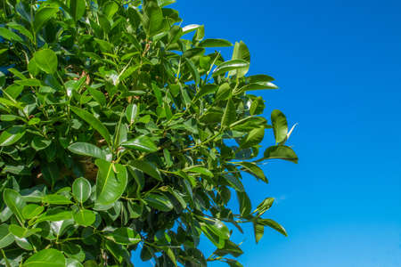 Ficus tree on blue sky background. Nice blue sky and colorful leaves of tree. Warm sunny day. Ficus big leaves close-up against the blue sky