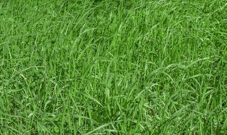 Green grass texture background, Green lawn, Grass texture, Park lawn texture with natural sun light. Reklamní fotografie