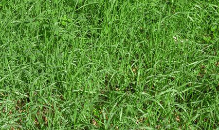 Green grass texture background, Green lawn, Grass texture, Park lawn texture with natural sun light. Reklamní fotografie - 133077771